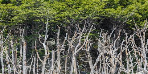 Bosc de Nothofagus. Parc Nacional Torres del Paine. Xile