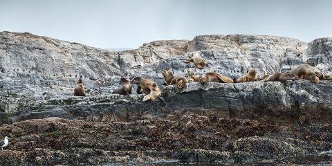 Isla de Los Lobos. Canal Beagle. Ushuaia. Argentina