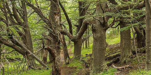 Bosc de lengas (nothofagus). Parc Nacional Torres del Paine. Xile